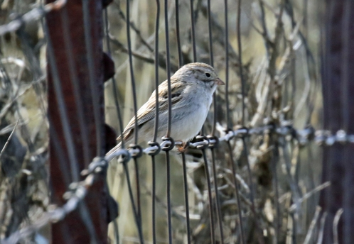 Brewer's Sparrow - Copy