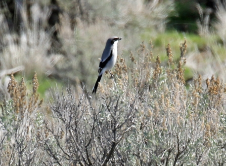 Loggerhead Shrike - Copy