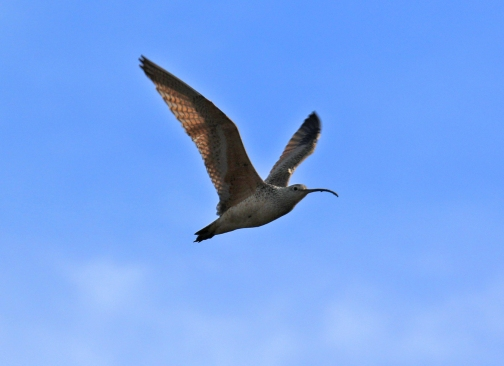 Long Billed Curlew Flight1 - Copy