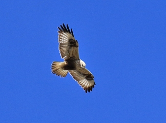 Northern Rough Legged Hawk - Copy