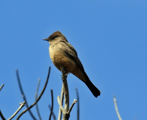 SAy's Phoebe - Copy