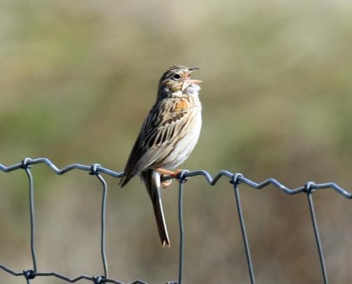 Vesper Sparrow - Copy