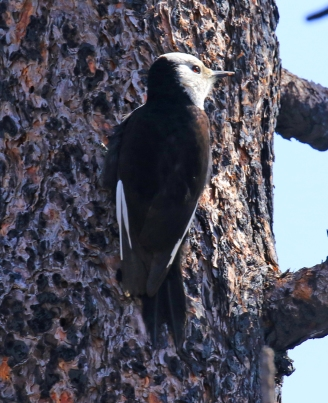 White Headed Woodpecker1