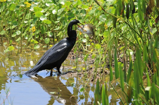 Anhinga with Bream