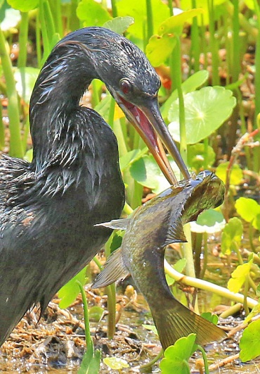 Anhinga with Fish Close