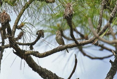 Bachman's Sparrow Singing