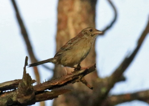 Bachman's Sparrow5