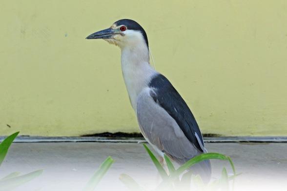 Black Crowned Night Heron1