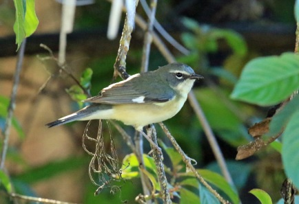 Black Throated Blue Warbler Female1