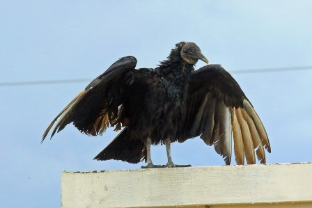 Black Vulture Drying