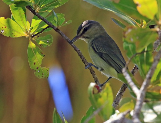 Black Whiskered Vireo1