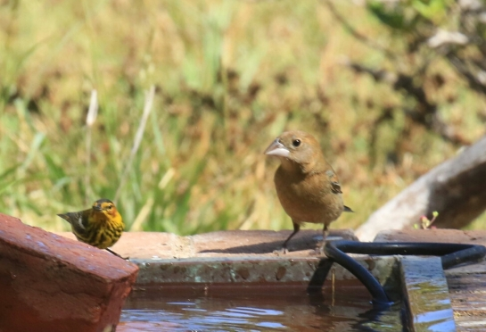Blue Grosbeak Female and Cape May Warbler