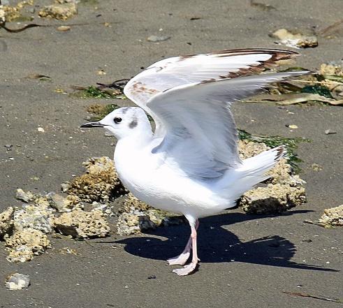 Bonaparte's Gull2