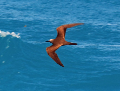 Brown Noddy Tern Flight