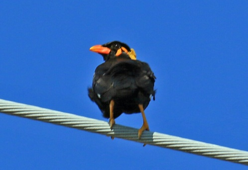 Common Hill Myna5