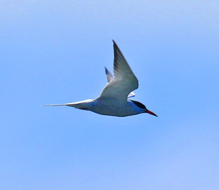 Common Tern1