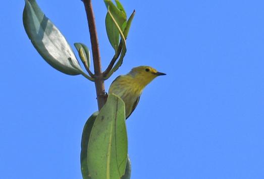 Cuban Yellow Warbler