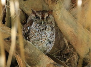 Eastern Screech Owl5