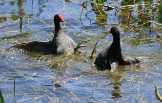 Fighting Moorhens1