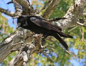 Fish Crow1