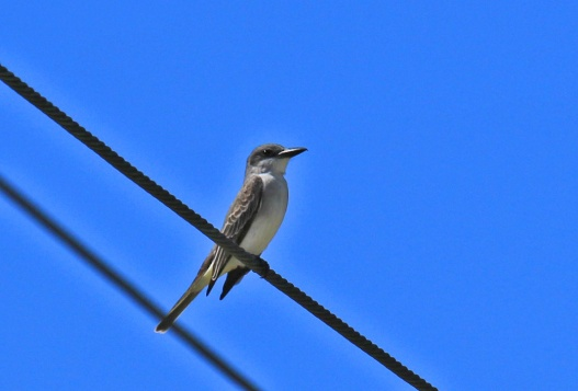 Gray Kingbird1