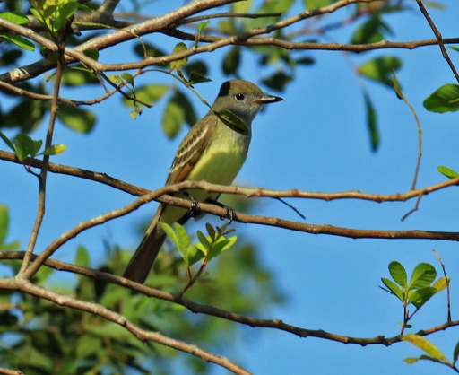 Great Crested Flycatcher5