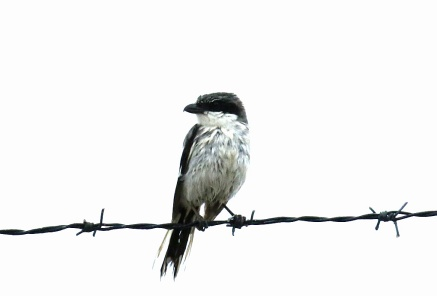 Loggerhead Shrike2