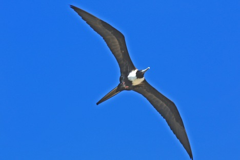 Magnificent Frigatebird5