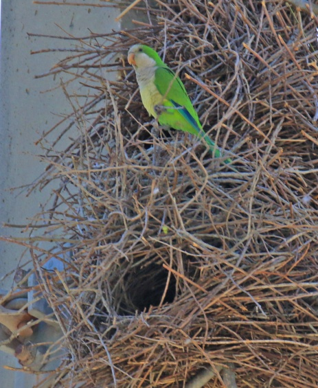 Monk Parakeet at Nest