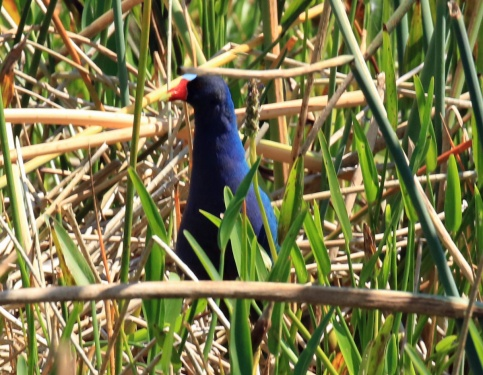 Purple Gallinule5