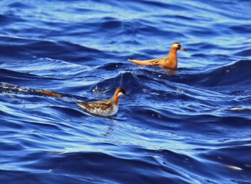 Red and Red Necked Phalaropes