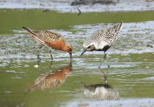 Red Knot and Black Bellied Plover