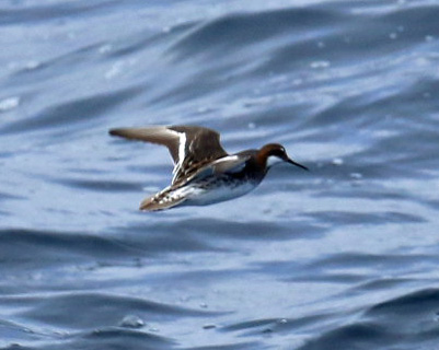 Red Necked Phalarope Flight