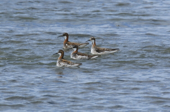 Red Necked Phalaropes