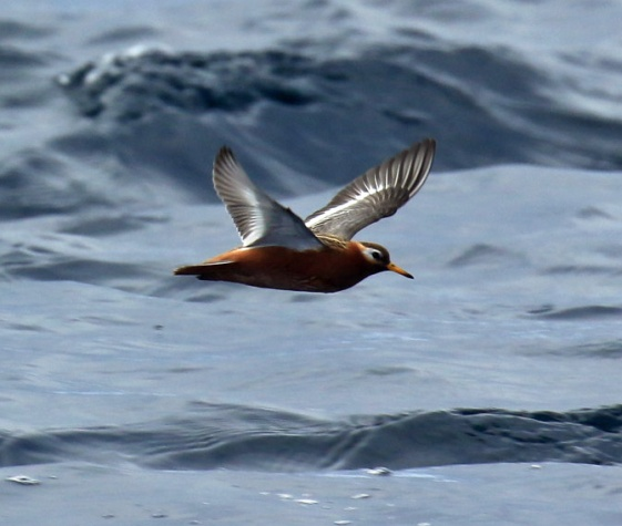 Red Phalarope Flight1