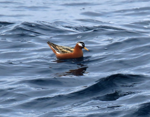 Red Phalarope1