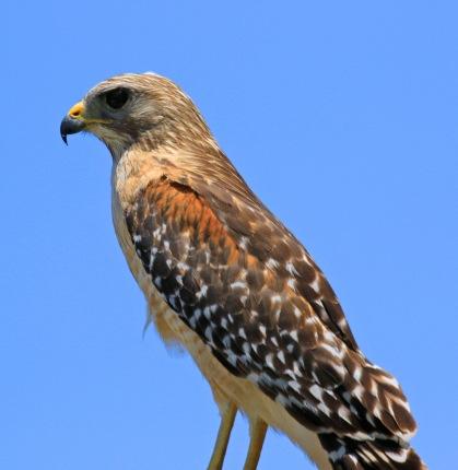 Red Shouldered Hawk1