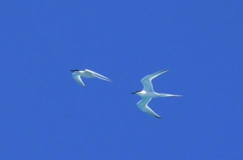 Roseate Terns 3
