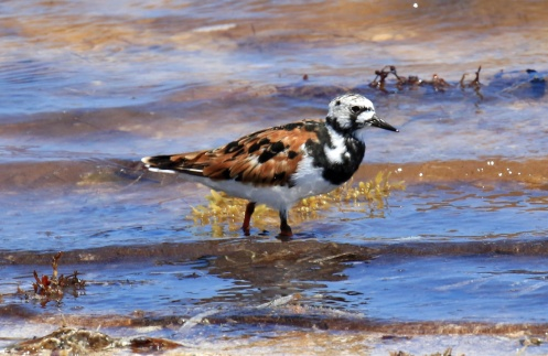 Ruddy Turnstone1
