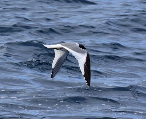 Sabine's Gull1