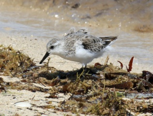 Sanderling Winter