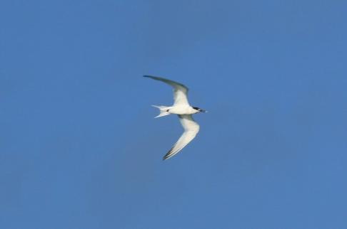 Sandwich Tern1
