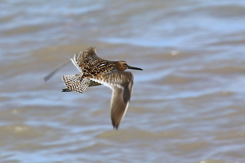 Short Billed Dowitcher Flight