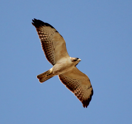Short Tailed Hawk1