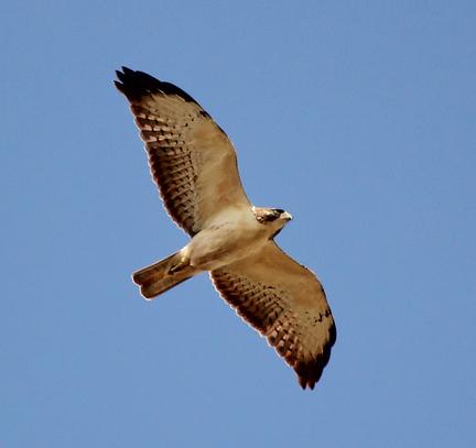 Short Tailed Hawk1