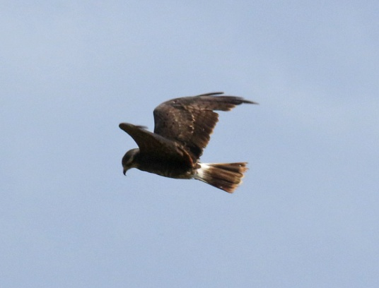 Snail Kite Flight4