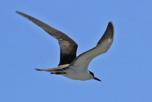 Sooty Tern5