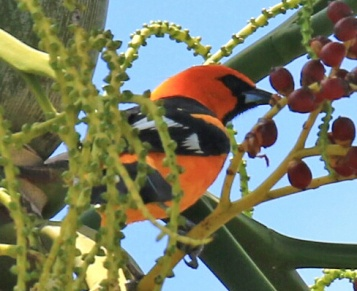 Spot Breasted Oriole4