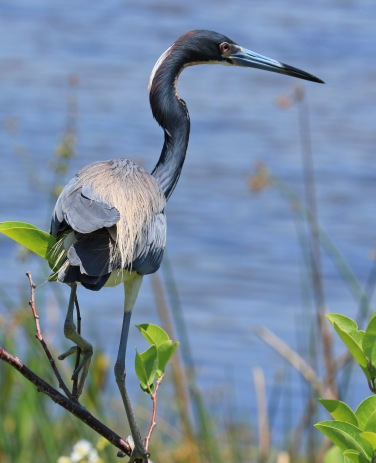 Tricolored Heron5