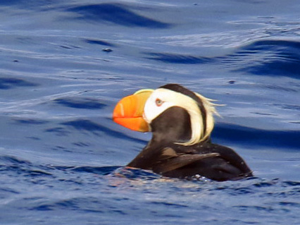 Tufted Puffin1